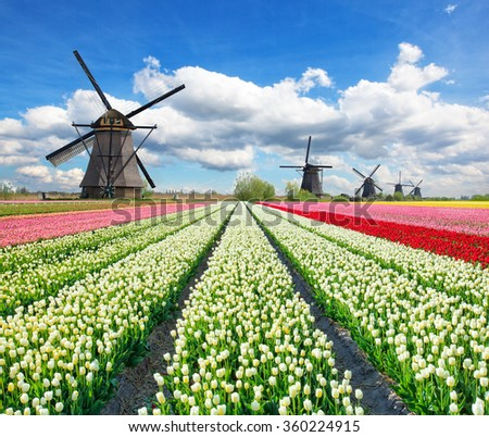 Vibrant tulips field with Dutch windmills - stock photo