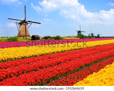 Vibrant tulips fields with windmills in the background, Netherlands          - stock photo