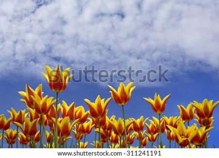 Vibrant tulips over blue sky - stock photo