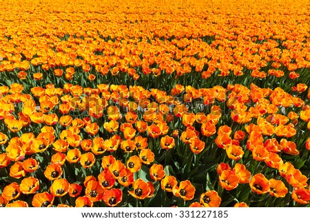 Vibrant tulips withe a clear blue sky in The Netherlands - stock photo