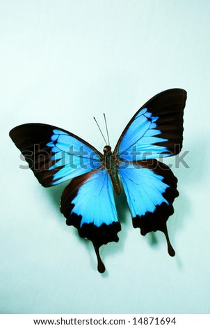 Vibrant Ulysses butterfly against a creamy eggshell blue backdrop. - stock photo