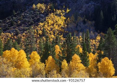 Vibrant yellow Autumn Aspen grove on steep hillside, Sierra Nevada Range, California - stock photo
