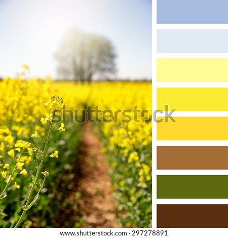 Vibrant yellow rapeseed flowers in a meadow, Hampshire, UK. In a colour palette with complimentary colour swatches. - stock photo