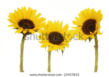 Vibrant Yellow Sunflower isolated on white