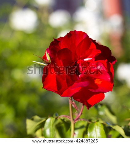 Vibrantly  magnificent romantic beautiful bright  red  hybrid tea   rose blooming  in  late autumn adds fragrance and color to the urban  landscape. - stock photo