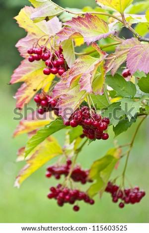 Viburnum berries in the autumn forest - stock photo