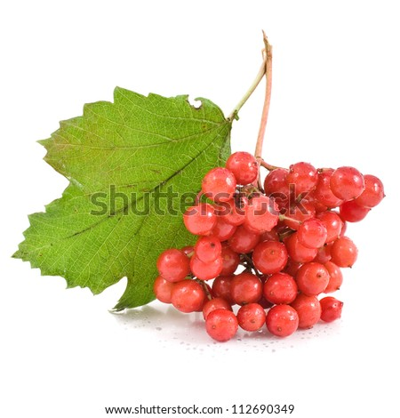 Viburnum berries with leaves isolated on white background - stock photo