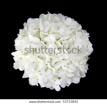 viburnum flower on a black background - stock photo