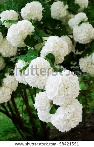 Viburnum opulus Compactum bush with white flowers (selective focus on flowers) - stock photo
