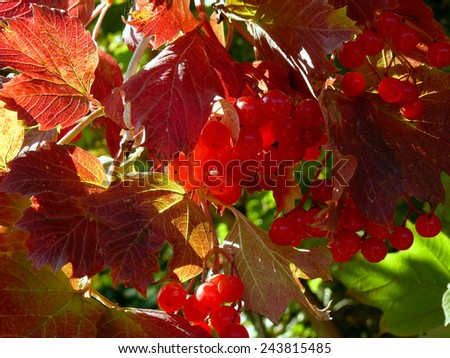 viburnum shrub fragment with berries and red autumnal leaves - stock photo