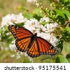 Viceroy butterfly feeding on a cluster of white flowers in a garden - stock photo