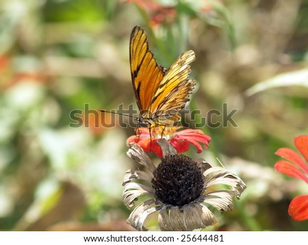 Viceroy or Monarch or ? Butterfly on Zinna flower Ometepe Island, Nicaragua - stock photo