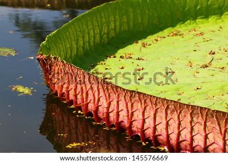Victoria amazonica Lotus leaf  - stock photo