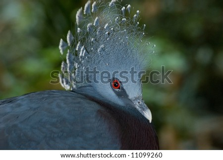 Victoria Crown Pigeon, name Goura victoria has ornate crest of unusual feathers on top of head. Blue overall color with brilliant red eye.