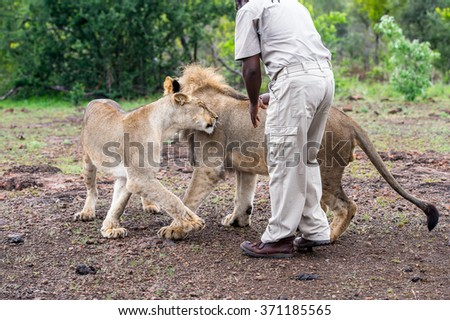 VICTORIA FALLS, ZIMBABWE - JAN 15, 2016: Unidentified man walks with a lion. African lions are endangered and need protection