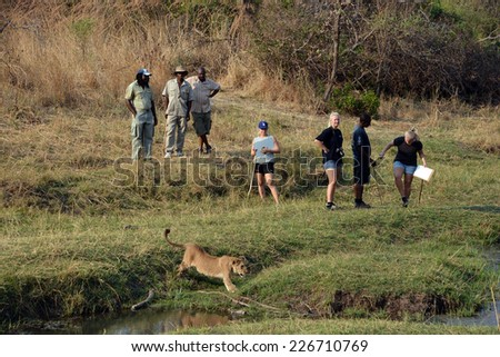 VICTORIA FALLS ZIMBABWE OCT 13: People walking with lions on oct 13 2014 in Victoria falls Zimbabwe. People can take part in, all in support of the larger conservation efforts to save the African Lion - stock photo