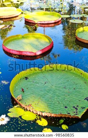 Victoria lotus leaf on water - stock photo