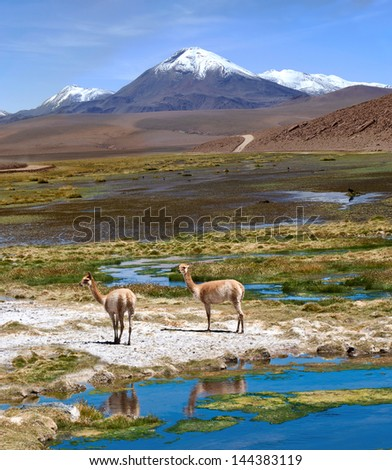 Vicu�±as graze in the Atacama, Volcanoes Licancabur and Juriques. The photo was taken on the road through the Andes near Paso Jama, Chile-Argentina-Bolivia. - stock photo