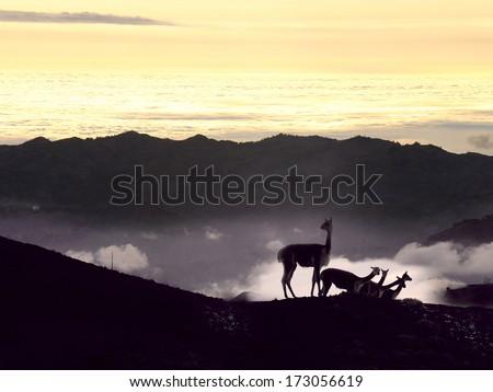 Vicugna is wild South American camelid. Cordillera Occidental, Andes, central Ecuador, near the inactive stratovolcano Chimborazo - stock photo
