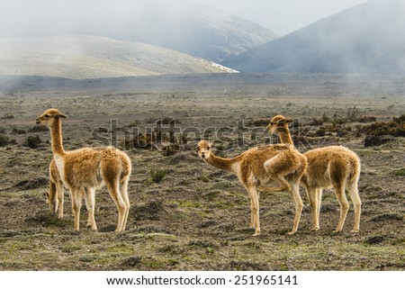 Vicugna is wild South American camelid. Cordillera Occidental, Andes, central Ecuador, near the inactive stratovolcano Chimborazo - stock photo
