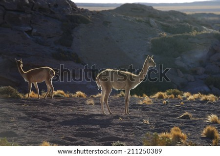 Vicuna in Altiplano high plateau in Andes mountains, Chile - stock photo