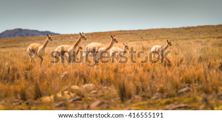 Vicuna in the andes of Peru. - stock photo