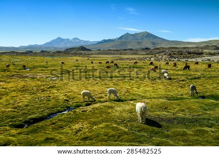 Vicuna on a spring field in northern Chile - National Leuca Park  - stock photo