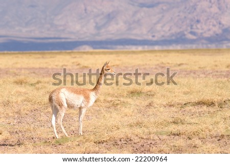 Vicuna (Vicgna vicugna) a High Altitude Camelid from South America