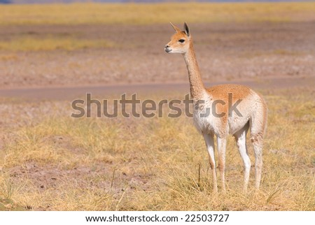 Vicuna (Vicgna vicugna) a High Altitude Camelid from South America - stock photo