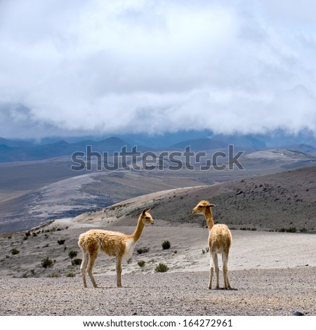 Vicuna (Vicugna vicugna) or vicugna is wild South American camelid, which live in the high alpine areas of the Andes. It is a relative of the llama. Andes of central Ecuador - stock photo