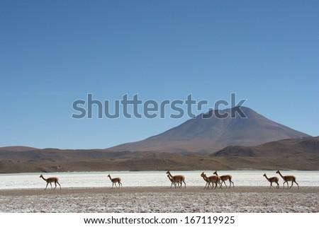 Vicunas at Atacama Desert - stock photo