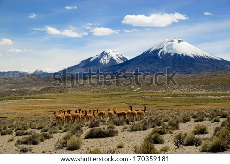 Vicunas near volcanoes. Payachata volcanic group at Lauca National Park, Chile  Lauca National Park is located in Chile's far north, in the Andean range.   - stock photo