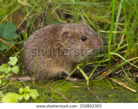 Vield vole (Microtus agrestis) is looking in camera - stock photo
