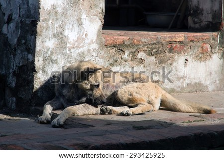 Vietnam's dog lying in the sun. - stock photo