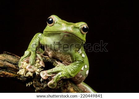 Vietnamese Blue (Gliding or Flying) Tree Frog (Polypedates dennysii) in close up staring at the camera against a black background - stock photo