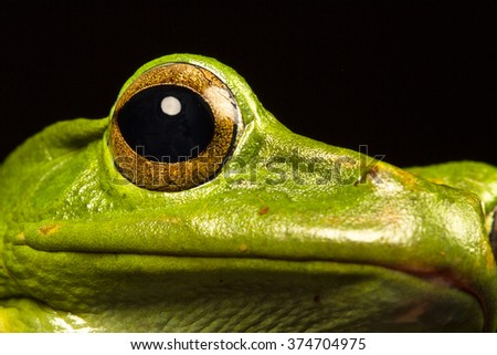 Vietnamese Blue (Gliding or Flying) Tree Frog (Polypedates dennysii) in ultraclose up staring at the camera against a black background - stock photo