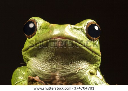 Vietnamese Blue (Gliding or Flying) Tree Frog (Polypedates dennysii) portrait macro against a black background - stock photo