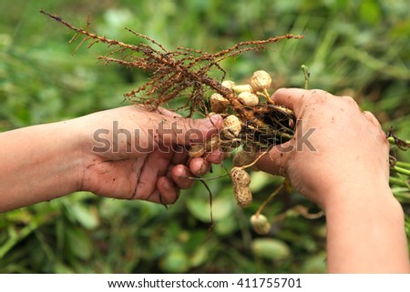 Vietnamese farmer is holding peanuts in hands. Fresh peanuts plants with roots. - stock photo