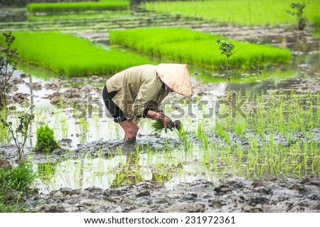 Vietnamese farmer works at rice field at foggy morning. Ninh Binh, Vietnam travel landscapes and destinations. Organic agriculture at southeast asia