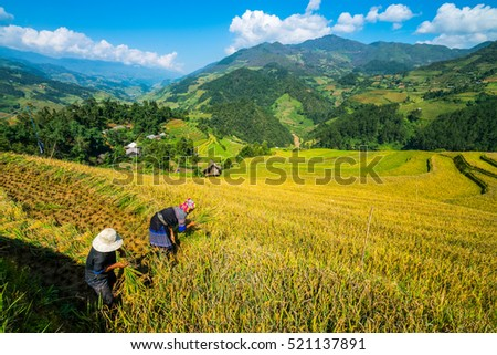 Vietnamese farmers are harvesting rice in terraced rice field in Sapa, Vietnam