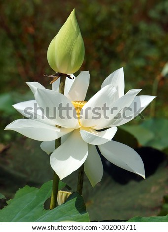 Vietnamese flower, pure white lotus flower, symbol of Vietnam at Mekong Delta, closeup of beautiful blossom, flower bud ob green background - stock photo