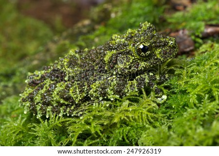 Vietnamese Mossy Frog camouflaged on mossy background/Mossy Frog/Mossy Frog (Theloderma Corticale) - stock photo