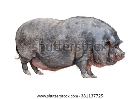 Vietnamese Pot-bellied pig isolated on white background - stock photo
