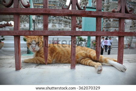 View a Ginger Cat Resting on a Wall of the Landmark Wat Arun or Temple of the Dawn in Bangkok Thailand - The Landmark Buddhist Hindu Temple is Famous for its Tall Khmer Style Spire - stock photo