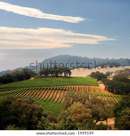 View at at California hills with rows of grapes