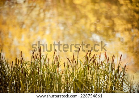 View at fresh green decorative reeds and yellow reflection on water from pond, plant and yellow abstract. Photo taken in Poland, open air. - stock photo