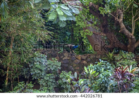 View at wild peacock in Mumbai, India - stock photo