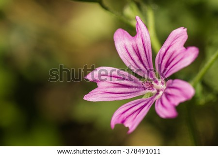 View close up of the wild flower of a Mallow (Malva silvestris) with natural background.  - stock photo