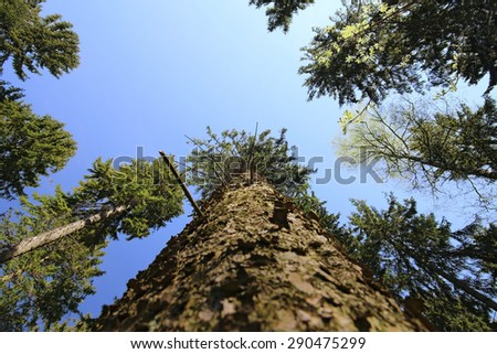 View from below a mighty pine tree (Pinus). - stock photo