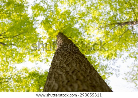 View from below of a maple tree trunk with branches spreading out - stock photo